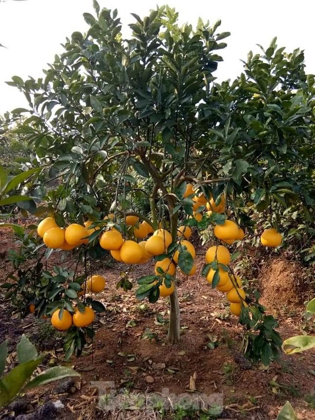 Mãn nhãn vườn cây quả vàng rực rỡ trước Tết ở Bắc Giang ảnh 3