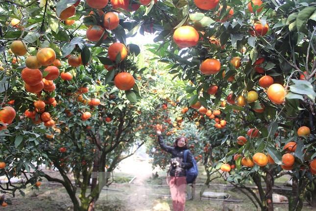Mãn nhãn vườn cây quả vàng rực rỡ trước Tết ở Bắc Giang ảnh 2