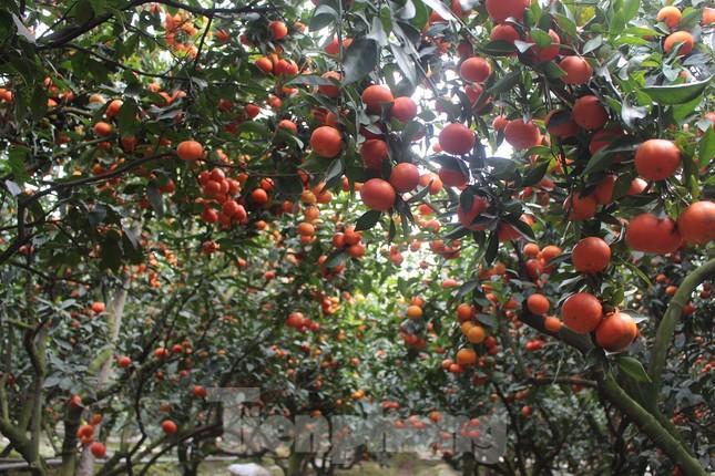 Mãn nhãn vườn cây quả vàng rực rỡ trước Tết ở Bắc Giang ảnh 1