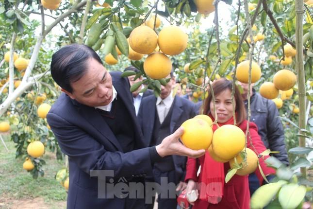 Mãn nhãn vườn cây quả vàng rực rỡ trước Tết ở Bắc Giang ảnh 10