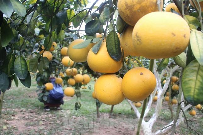 Mãn nhãn vườn cây quả vàng rực rỡ trước Tết ở Bắc Giang ảnh 8