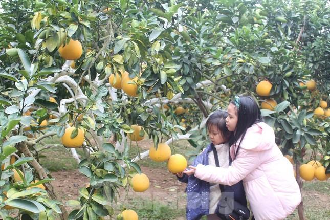 Mãn nhãn vườn cây quả vàng rực rỡ trước Tết ở Bắc Giang ảnh 9