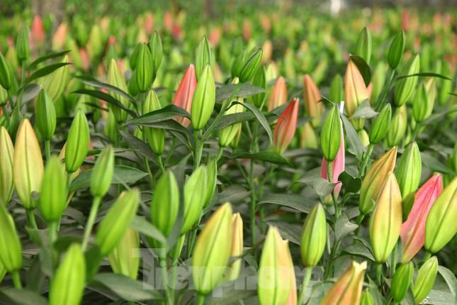 Nông dân vựa hoa ly lớn nhất Bắc Giang lo gặp cảnh 'hoa cười, người khóc' ảnh 3