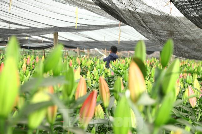 Nông dân vựa hoa ly lớn nhất Bắc Giang lo gặp cảnh 'hoa cười, người khóc' ảnh 1