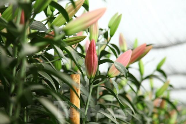 Nông dân vựa hoa ly lớn nhất Bắc Giang lo gặp cảnh 'hoa cười, người khóc' ảnh 11
