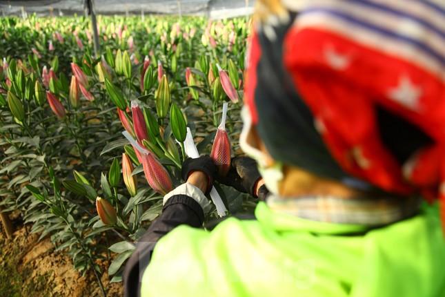 Nông dân vựa hoa ly lớn nhất Bắc Giang lo gặp cảnh 'hoa cười, người khóc' ảnh 14