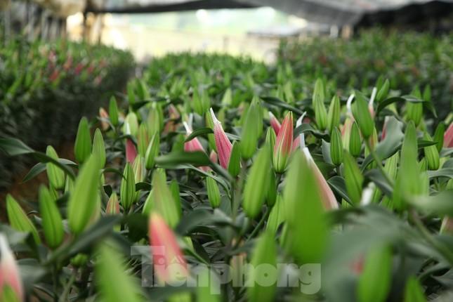 Nông dân vựa hoa ly lớn nhất Bắc Giang lo gặp cảnh 'hoa cười, người khóc' ảnh 13