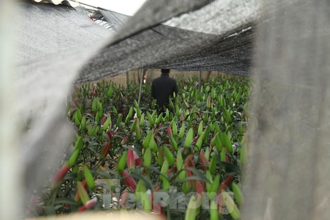 Nông dân vựa hoa ly lớn nhất Bắc Giang lo gặp cảnh 'hoa cười, người khóc' ảnh 5
