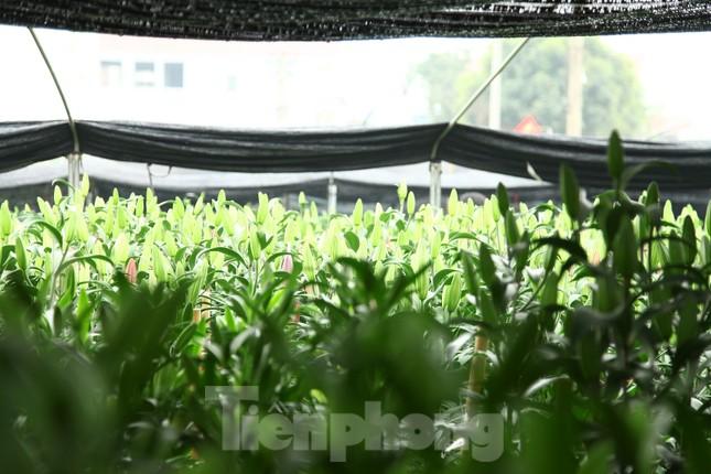 Nông dân vựa hoa ly lớn nhất Bắc Giang lo gặp cảnh 'hoa cười, người khóc' ảnh 8