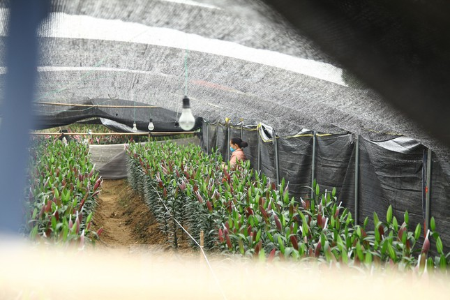 Nông dân vựa hoa ly lớn nhất Bắc Giang lo gặp cảnh 'hoa cười, người khóc' ảnh 6