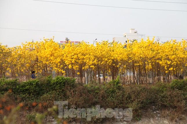Nghìn người đổ về chiêm ngưỡng vườn hoa Phong Linh vàng rực rỡ ở Bắc Giang ảnh 11