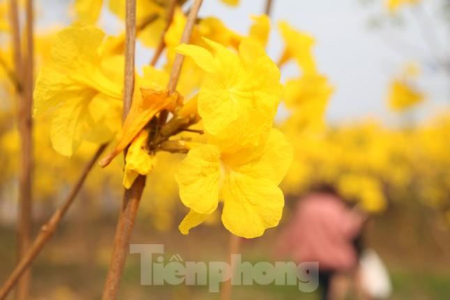 Nghìn người đổ về chiêm ngưỡng vườn hoa Phong Linh vàng rực rỡ ở Bắc Giang ảnh 6