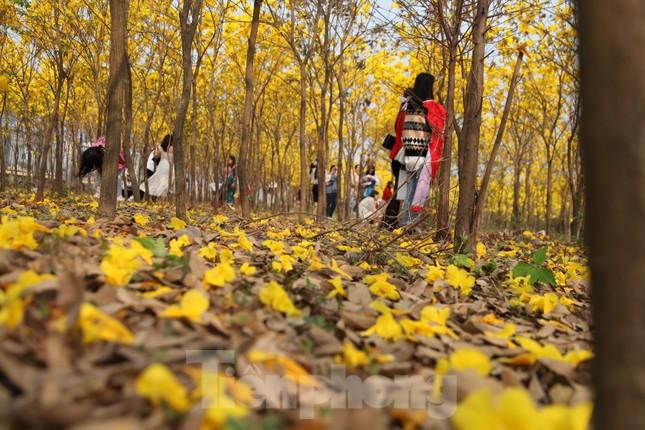 Nghìn người đổ về chiêm ngưỡng vườn hoa Phong Linh vàng rực rỡ ở Bắc Giang ảnh 10
