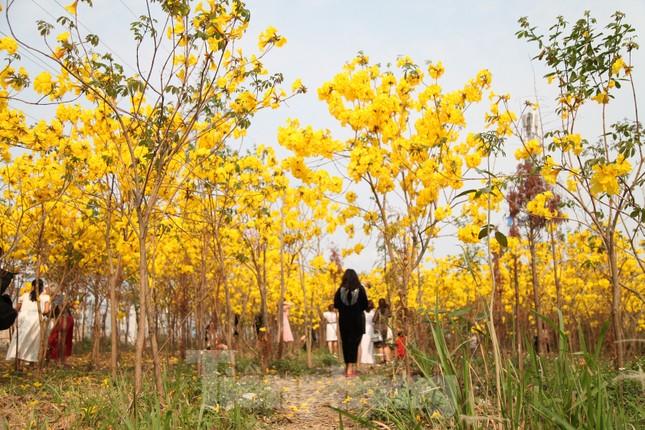 Nghìn người đổ về chiêm ngưỡng vườn hoa Phong Linh vàng rực rỡ ở Bắc Giang ảnh 9