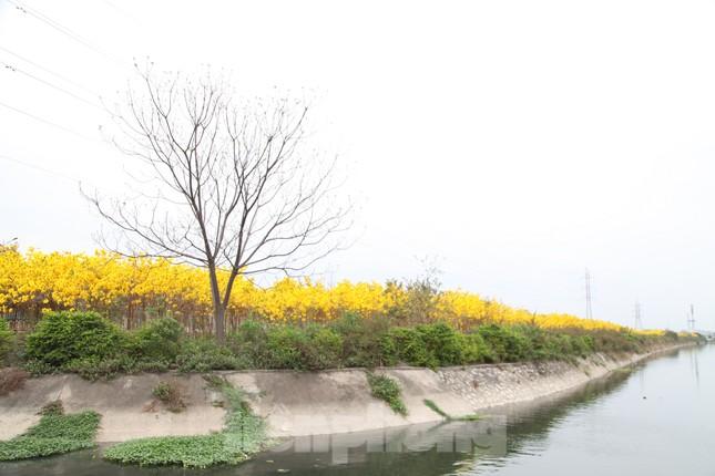 Nghìn người đổ về chiêm ngưỡng vườn hoa Phong Linh vàng rực rỡ ở Bắc Giang ảnh 1