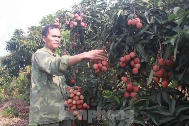 Nhật Bản cấp bằng bảo hộ chỉ dẫn địa lý cho vải thiều tỉnh Bắc Giang ảnh 1