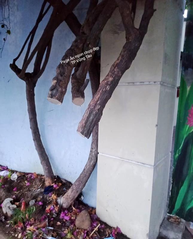 Giàn hoa giấy nổi tiếng ở Vũng Tàu bị kẻ gian cưa trộm: Cây héo úa vì bị cưa thân, cắt gốc ảnh 4