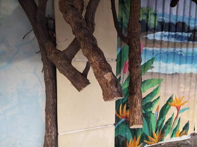 Giàn hoa giấy nổi tiếng ở Vũng Tàu bị kẻ gian cưa trộm: Cây héo úa vì bị cưa thân, cắt gốc ảnh 3
