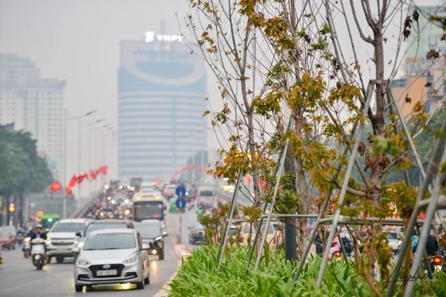 """Hàng phong lá đỏ trên đường Nguyễn Chí Thanh thành """"củi khô"""", Hà Nội thay thế bằng cây gì? ảnh 5"""