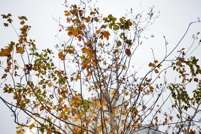 """Hàng phong lá đỏ trên đường Nguyễn Chí Thanh thành """"củi khô"""", Hà Nội thay thế bằng cây gì? ảnh 4"""