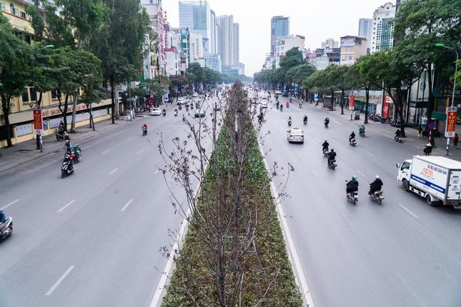 """Hàng phong lá đỏ trên đường Nguyễn Chí Thanh thành """"củi khô"""", Hà Nội thay thế bằng cây gì? ảnh 1"""
