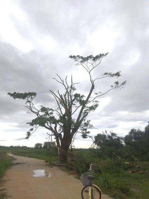 """Xót xa """"cây Mắt Biếc"""" trơ trụi sau bão số 5, khắp thành phố Huế ngổn ngang cây đổ ảnh 15"""