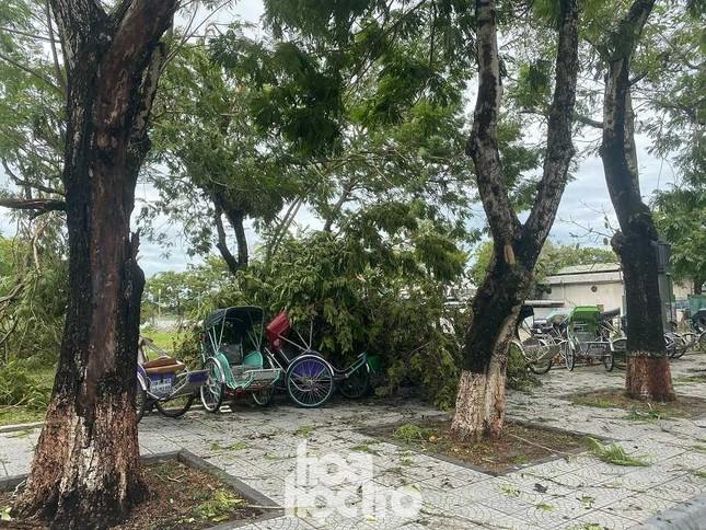 """Xót xa """"cây Mắt Biếc"""" trơ trụi sau bão số 5, khắp thành phố Huế ngổn ngang cây đổ ảnh 9"""