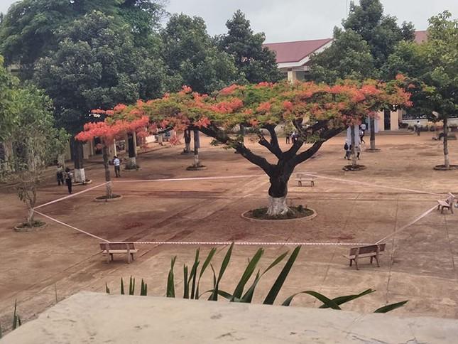 """Cộng đồng mạng tranh cãi gay gắt về hình ảnh cây phượng bị """"cách ly"""" giữa sân trường ảnh 1"""