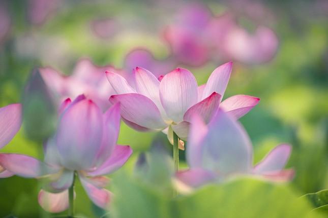 """Ngỡ ngàng hồ sen nở rộ giữa Thu ở Hang Múa (Ninh Bình), giới trẻ tha hồ chụp ảnh """"sống ảo"""" ảnh 5"""