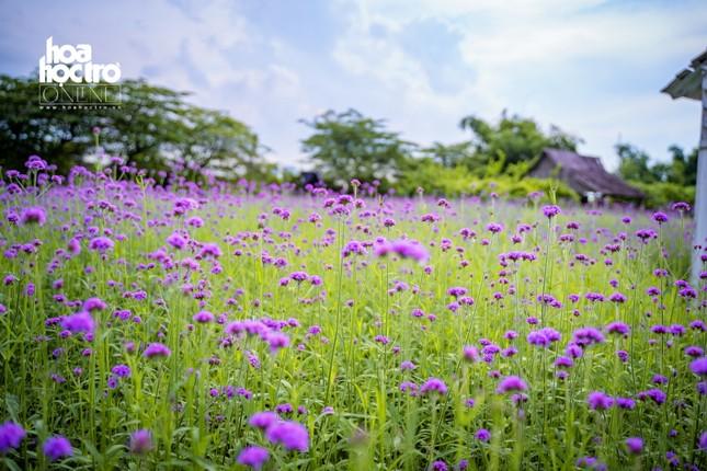 Giới trẻ Hà Nội rủ nhau check-in ở cánh đồng hoa oải hương rộng hàng chục nghìn mét vuông ảnh 2