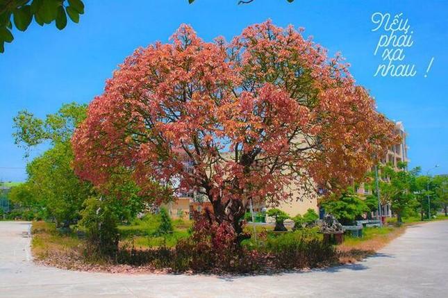 Giới trẻ thích thú với cây trái tim trồng trong khuôn viên của một trường Đại học ảnh 2