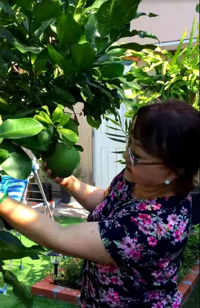 Vườn cây trái tươi tốt ở Mỹ của danh ca Hương Lan ảnh 5