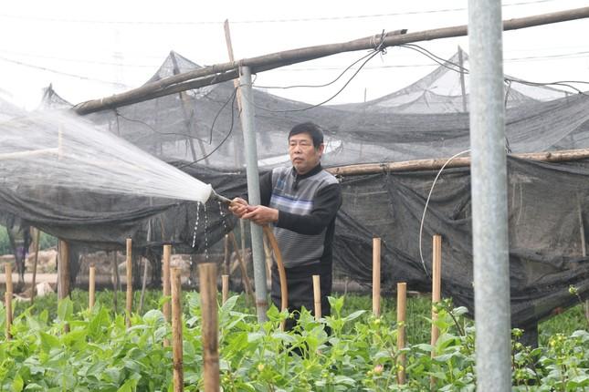 Người trồng hoa, buôn hoa Tết lo ế vì dịch COVID-19 ảnh 6