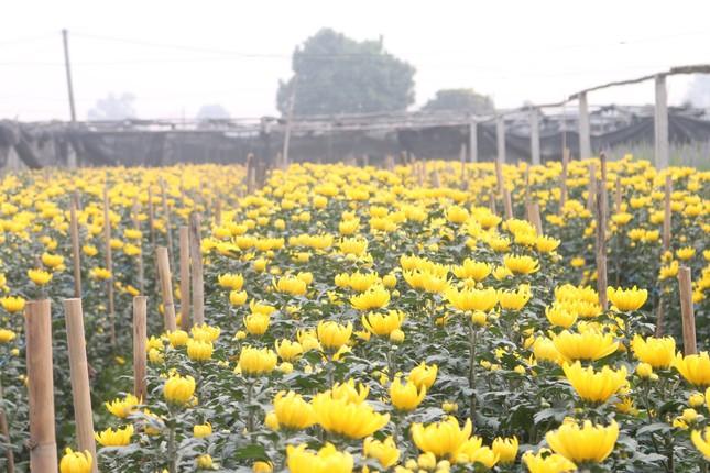 Người trồng hoa, buôn hoa Tết lo ế vì dịch COVID-19 ảnh 7
