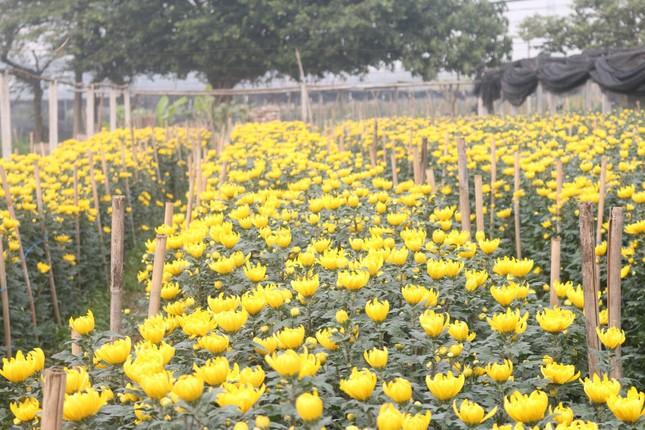 Sát Rằm tháng Giêng, giá hoa ở Hà Nội thấp lạ thường ảnh 1