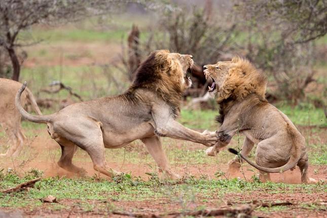 Sư tử ác chiến vì bị quấy rầy giữa cuộc 'mây mưa' ảnh 4