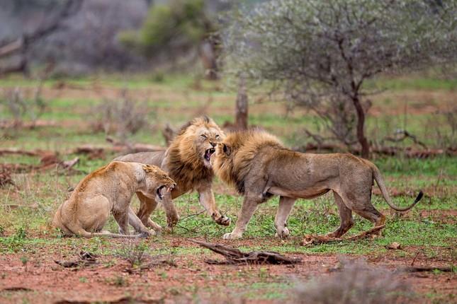 Sư tử ác chiến vì bị quấy rầy giữa cuộc 'mây mưa' ảnh 3