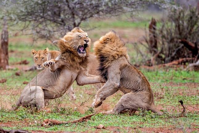 Sư tử ác chiến vì bị quấy rầy giữa cuộc 'mây mưa' ảnh 5