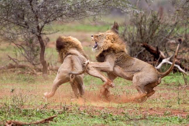 Sư tử ác chiến vì bị quấy rầy giữa cuộc 'mây mưa' ảnh 6