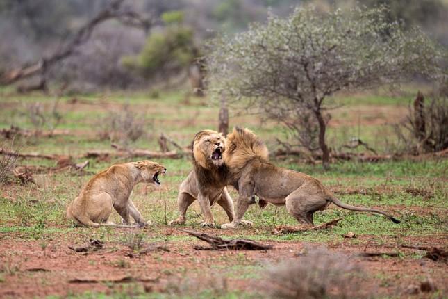 Sư tử ác chiến vì bị quấy rầy giữa cuộc 'mây mưa' ảnh 1