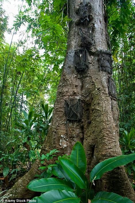 Rùng mình với mộ cây hài nhi ở rừng già Indonesia ảnh 2