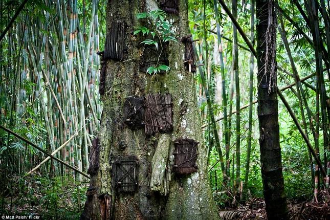 Rùng mình với mộ cây hài nhi ở rừng già Indonesia ảnh 3