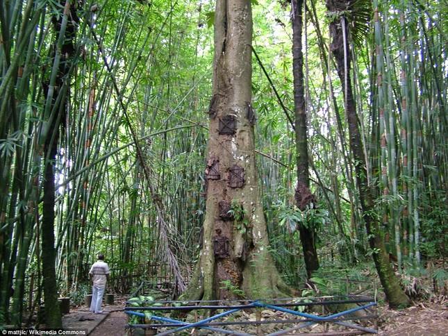 Rùng mình với mộ cây hài nhi ở rừng già Indonesia ảnh 1