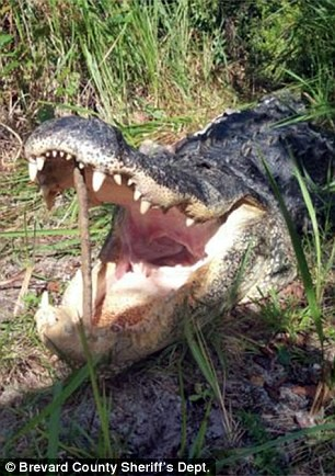 Trốn cảnh sát trong bụi rậm, tên trộm xấu số bị cá sấu ăn thịt ảnh 2