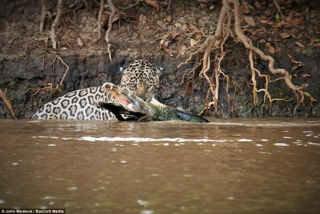 Cận cảnh báo đốm lao xuống sông săn cá sấu khủng ảnh 1