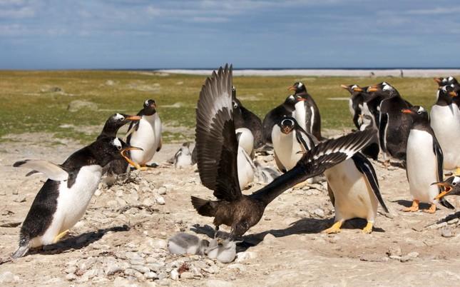 Sợ hãi chứng kiến chim cướp biển bắt cánh cụt làm mồi ảnh 1