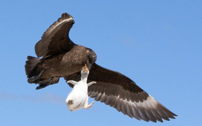 Sợ hãi chứng kiến chim cướp biển bắt cánh cụt làm mồi ảnh 5