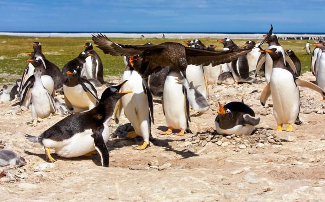 Sợ hãi chứng kiến chim cướp biển bắt cánh cụt làm mồi ảnh 3