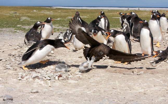 Sợ hãi chứng kiến chim cướp biển bắt cánh cụt làm mồi ảnh 2