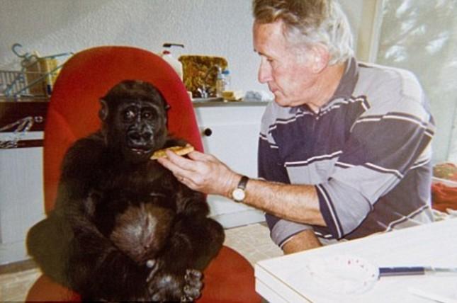 Vợ chồng già nuôi khỉ đột như con suốt 2 thập kỉ ảnh 1